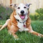 2 Vet-Approved Recipes: Homemade Food for Senior Dogs