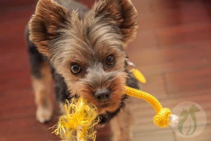 Yorkie with rope toy